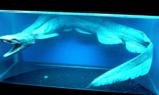 Scientists Capture Rare Primitive Shark With 300 Teeth