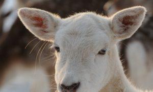Rare Albino Deer Accidentally Killed During Deer Hunt