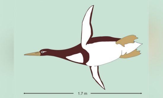 Waddling Into History: Huge Ancient Penguin Inhabited New Zealand