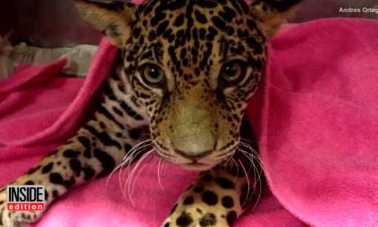 Hikers find paralyzed baby jaguar, but it wasn't until the x-ray that they see the truth