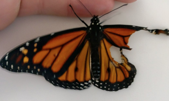 Woman finds butterfly born with a defective wing—her solution—like nothing you've seen before