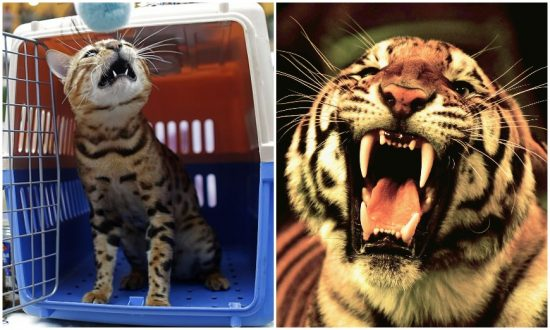 Couple Suffer Shock After Sighting What They Think Is a Tiger in Hong Kong