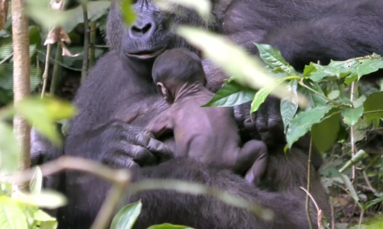 Critically Endangered Gorilla and Its Newborn Captured on Film
