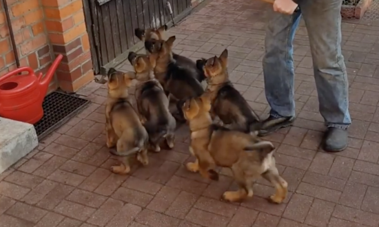 8 excited puppies are fighting for their favorite toy—then you see what's in owner's hand