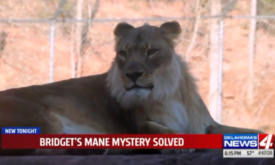 This Lioness Has Grown a Mane—This Zoo Finally Solved the Mystery Why