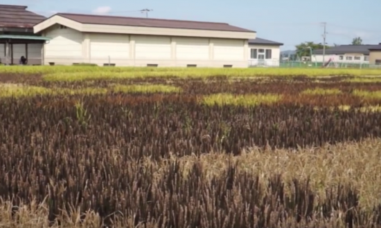 They look like regular rice fields, but when the camera tilts down—it's secret comes out