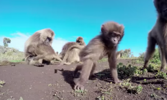 Man in Ethiopia finds rare type of monkey—you have to see what they do in his video