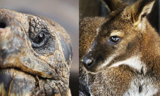 Were Giant Australian Animals Really Wiped Out by Humans 65,000 Years Ago?