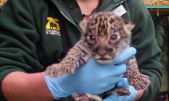 Zoo welcomes it's newest addition to the family—the cutest baby jaguar I've ever seen