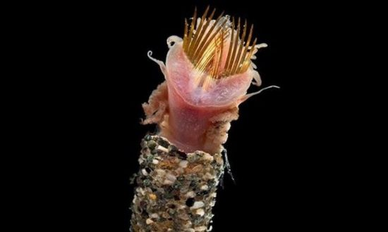 Bizarre 'Ice Cream Cone' Worm Spotted During Marine Expedition