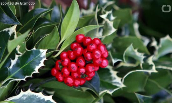 Mistletoe Only Living Organism Without Protein Needed by All Other Multicellular Life