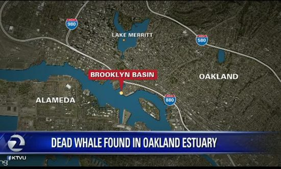 Dead Whale Found in Oakland Estuary