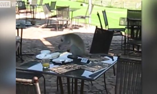 Capuchin Monkey Stealing Breakfast From Restaurant