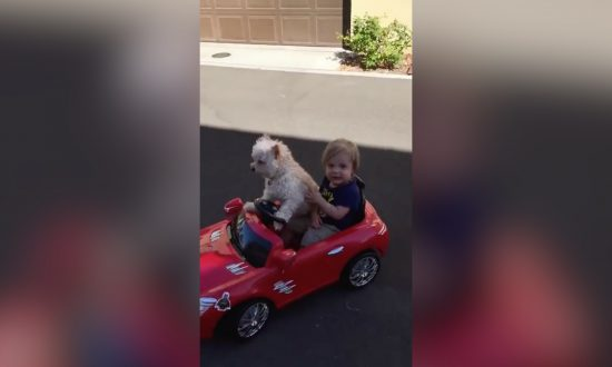 Dog Having Fun Driving Toddler Around in Toy Convertible