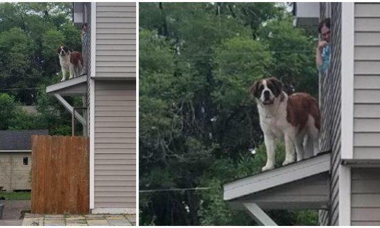 Firefighters Rescue 180-Pound Saint Bernard Stuck On A Roof