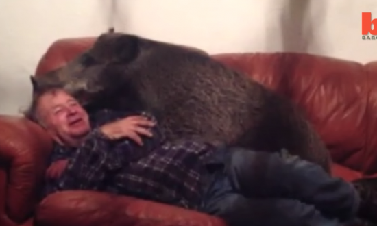 Man snuggles with 100 pound boar on the couch