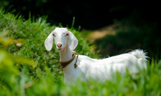 Man heroically rushes to the rescue after goat falls into nearby river