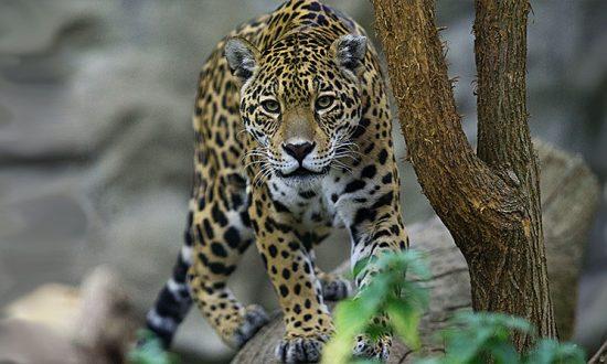 Jaguar Escapes Cage by Biting Through Fence
